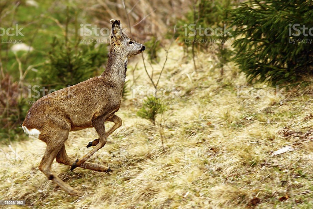 roe deer running stock photo