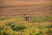 Roe deer standing among the agricultural field