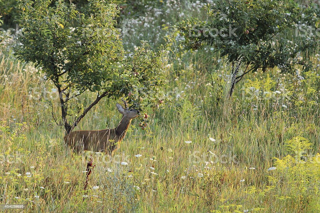 roe deer stealing apples from an orchard stock photo