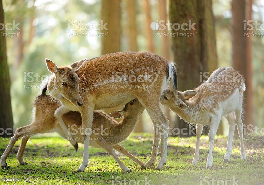 roe deer suckling two fawns stock photo