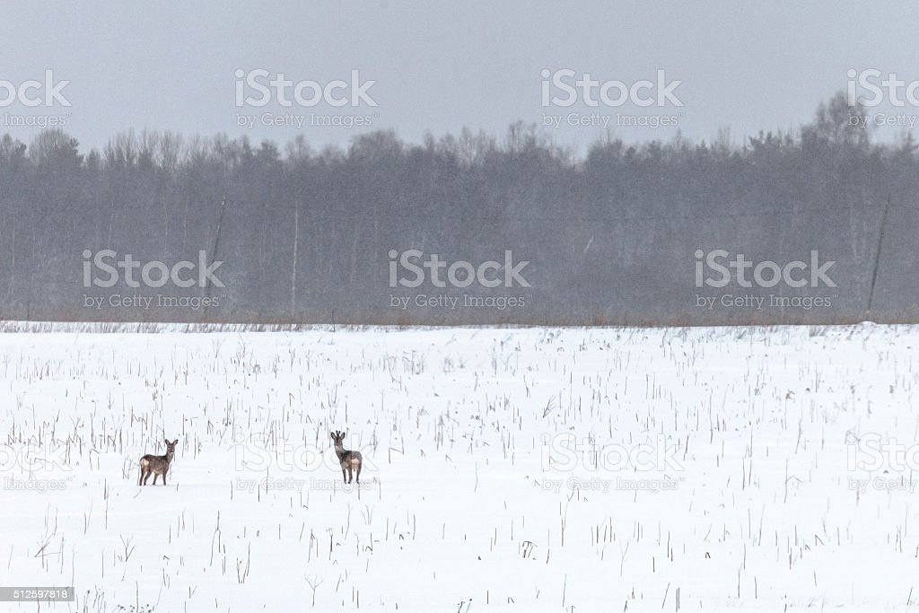Roe deers looking for food in winter. Estonia. stock photo
