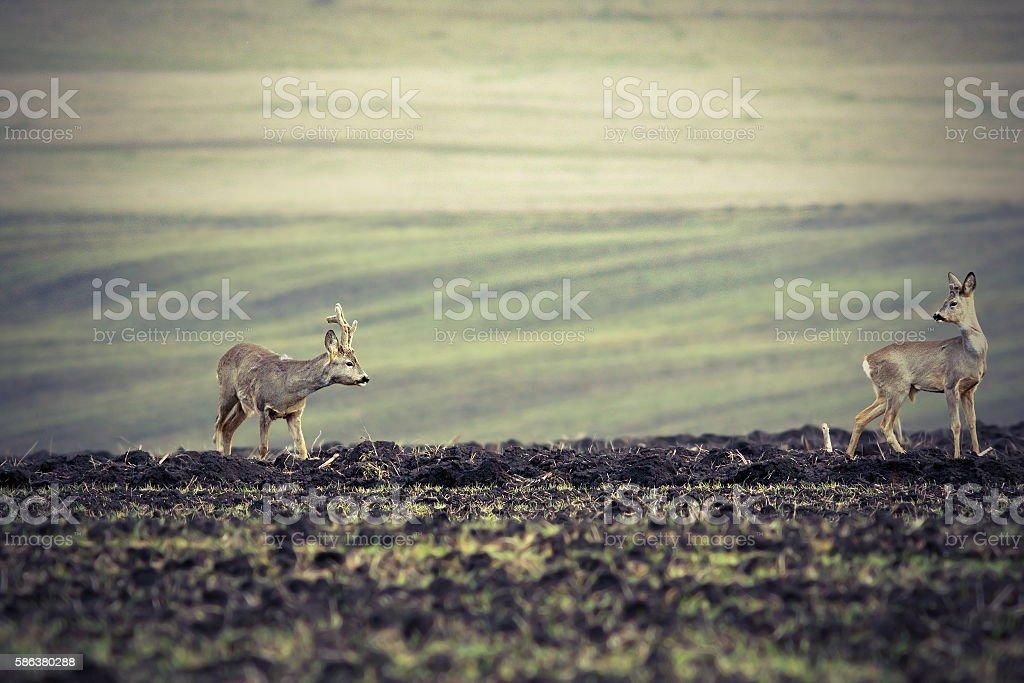 roe deers on plowed land stock photo