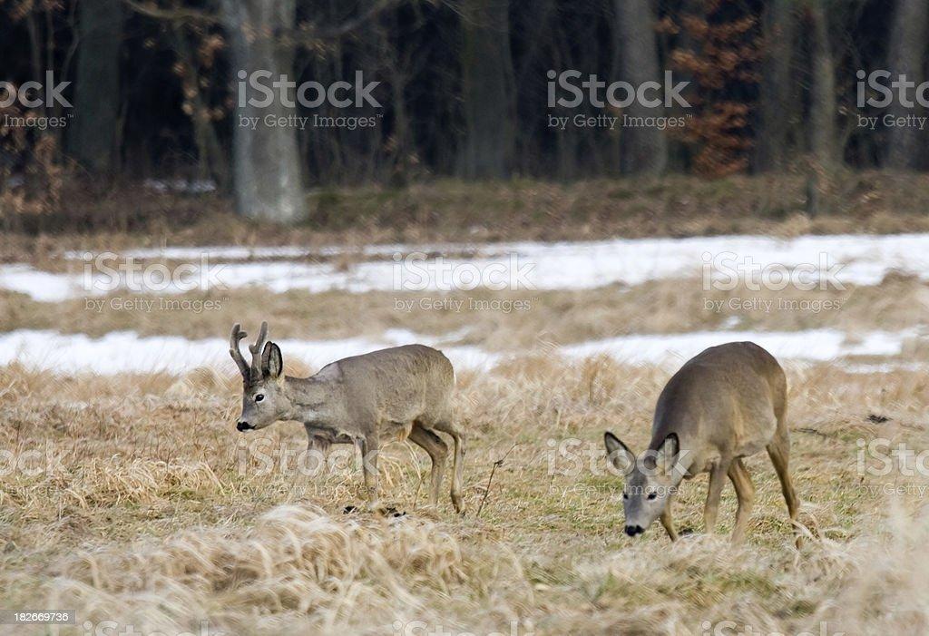 Roe deers. stock photo