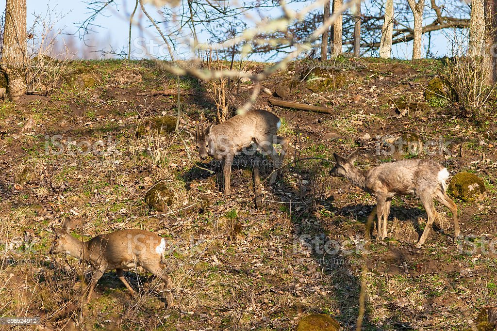 Roe deers walking in the woods stock photo