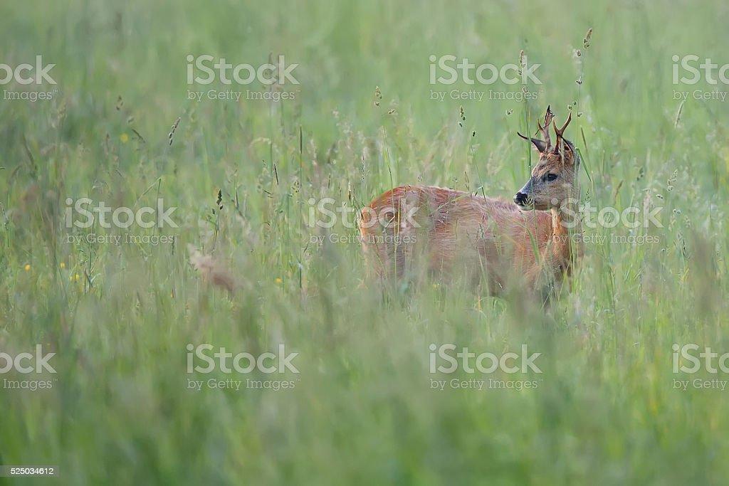 Roebuck hidden in the grass stock photo