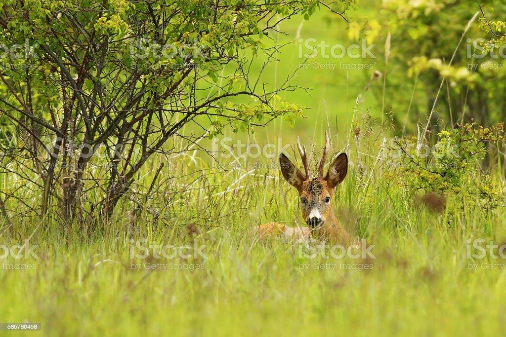 roebuck hiding in the grass stock photo