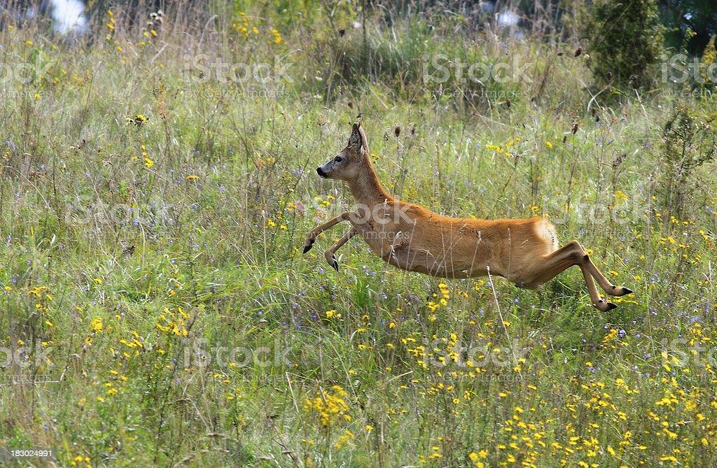 Roebuck  jumping stock photo