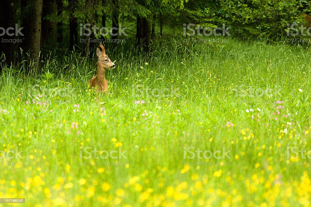 Roebuck (roe deer) stock photo