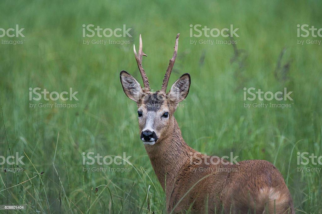 Roebuck stock photo