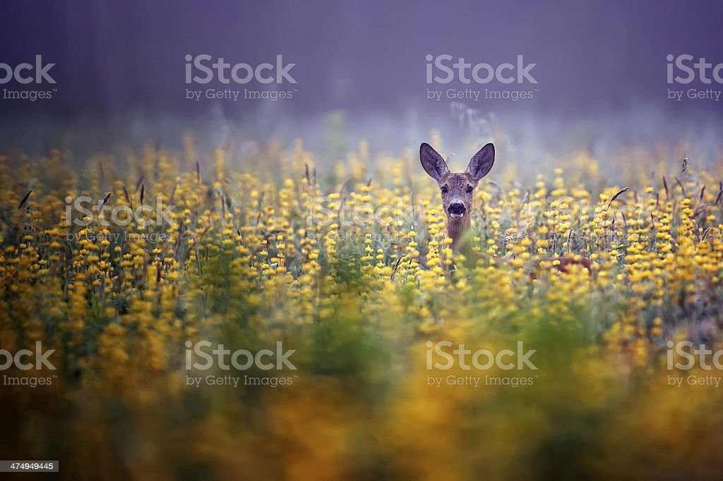Roe-deer in the morning mist stock photo
