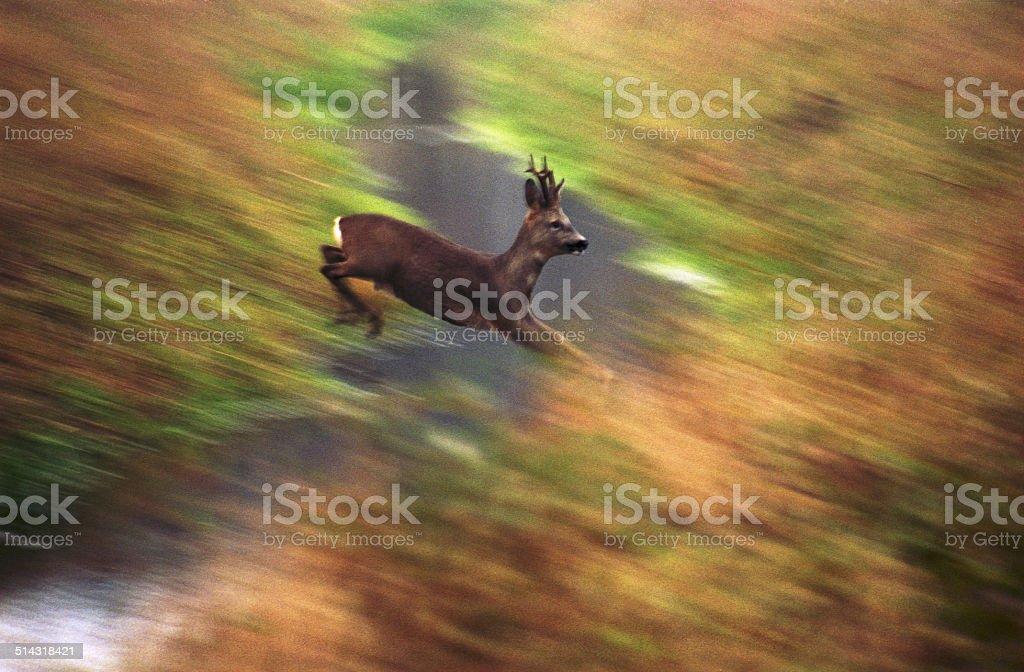 Roe-deer stock photo