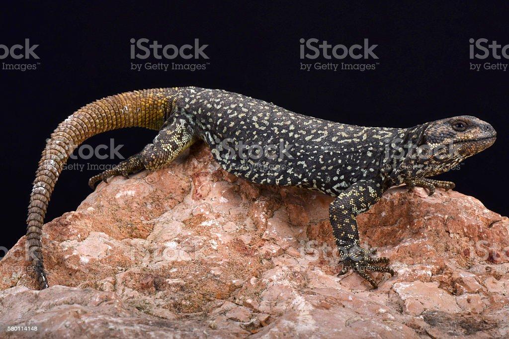Roig's mountain lizard (Phymaturus roigorum) stock photo
