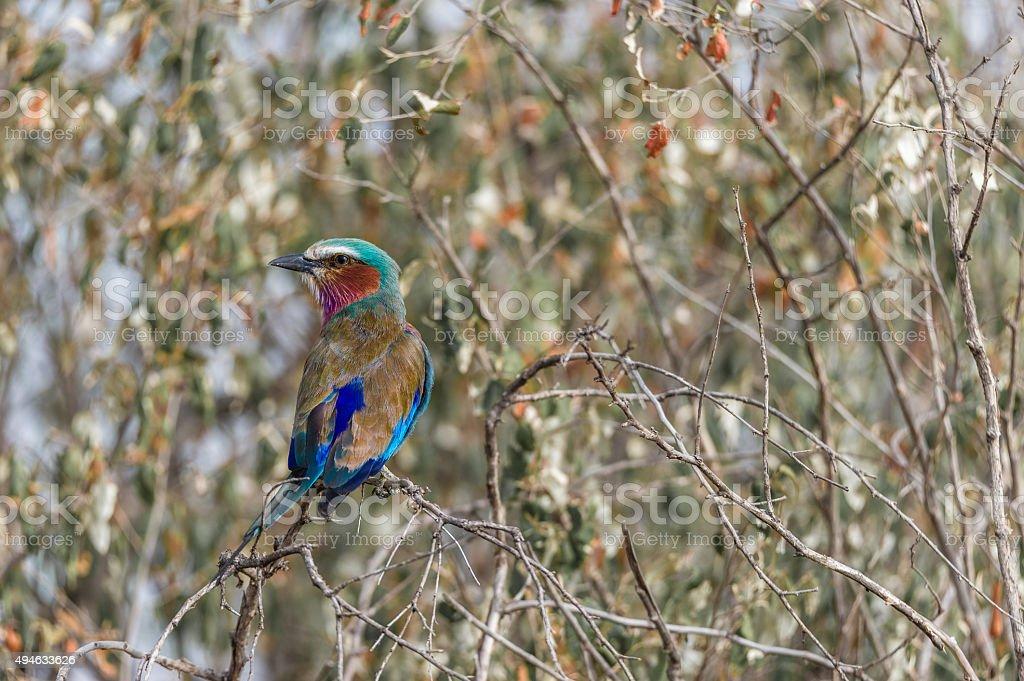 Roller Bird stock photo