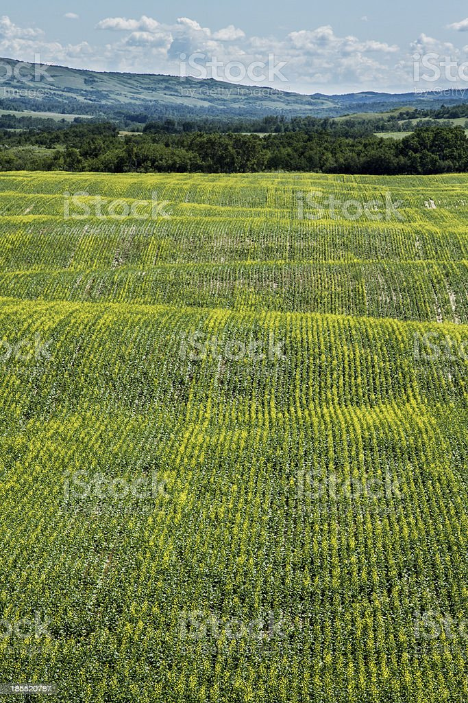 Rolling canola fields royalty-free stock photo