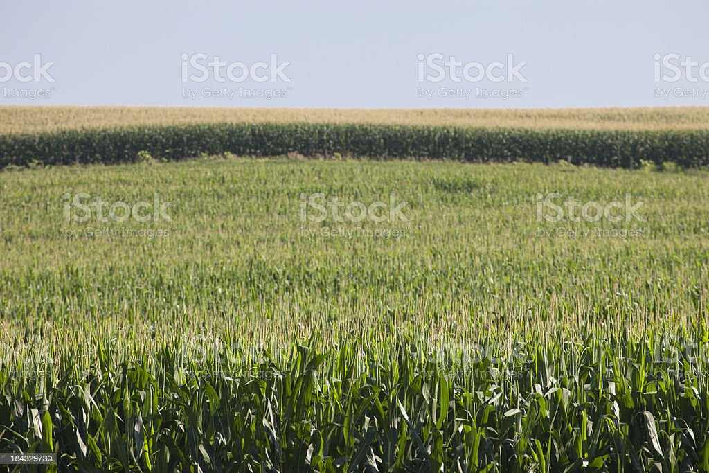 Rolling Corn Field Farm royalty-free stock photo