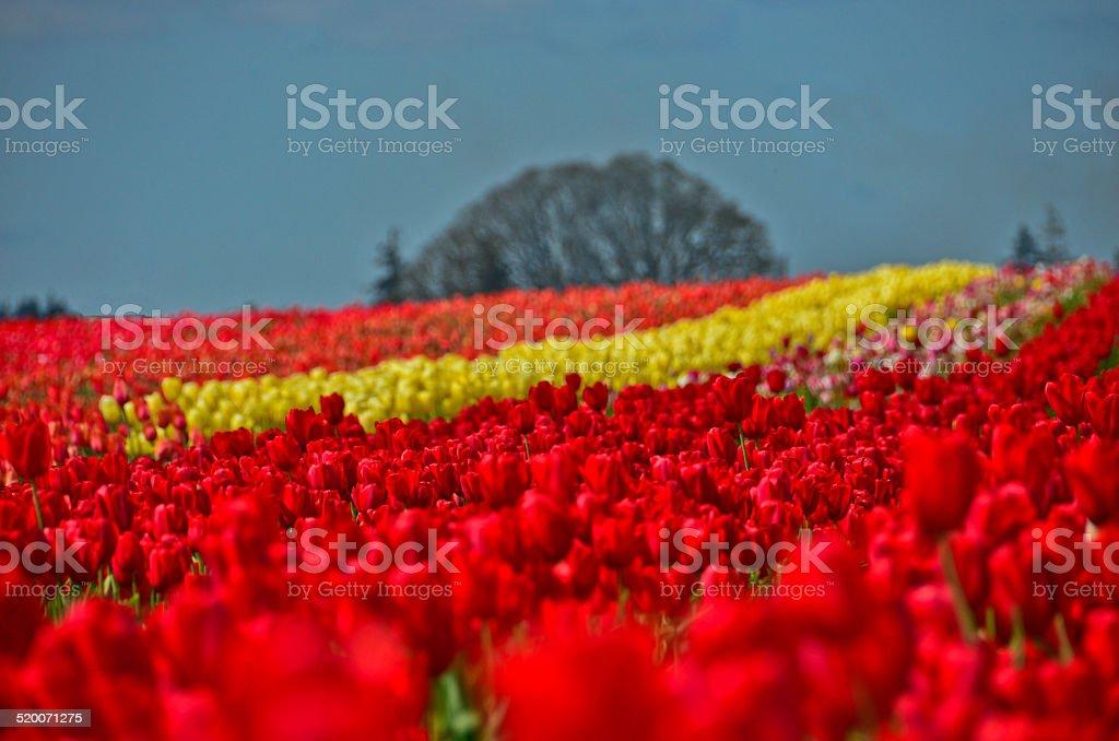 Холмистый поле тюльпанов с дерево на фоне, Орегон Стоковые фото Стоковая фотография