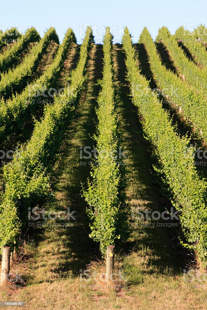 Rolling green vineyard in afternoon summer sun stock photo