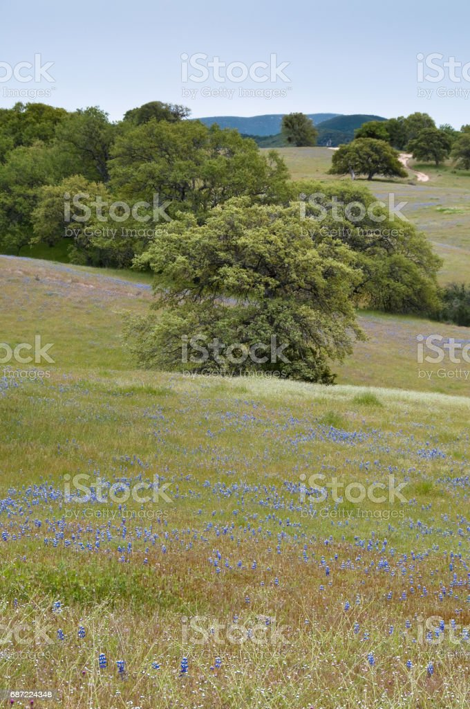 Rolling hills with oaks and springtime lupine. stock photo