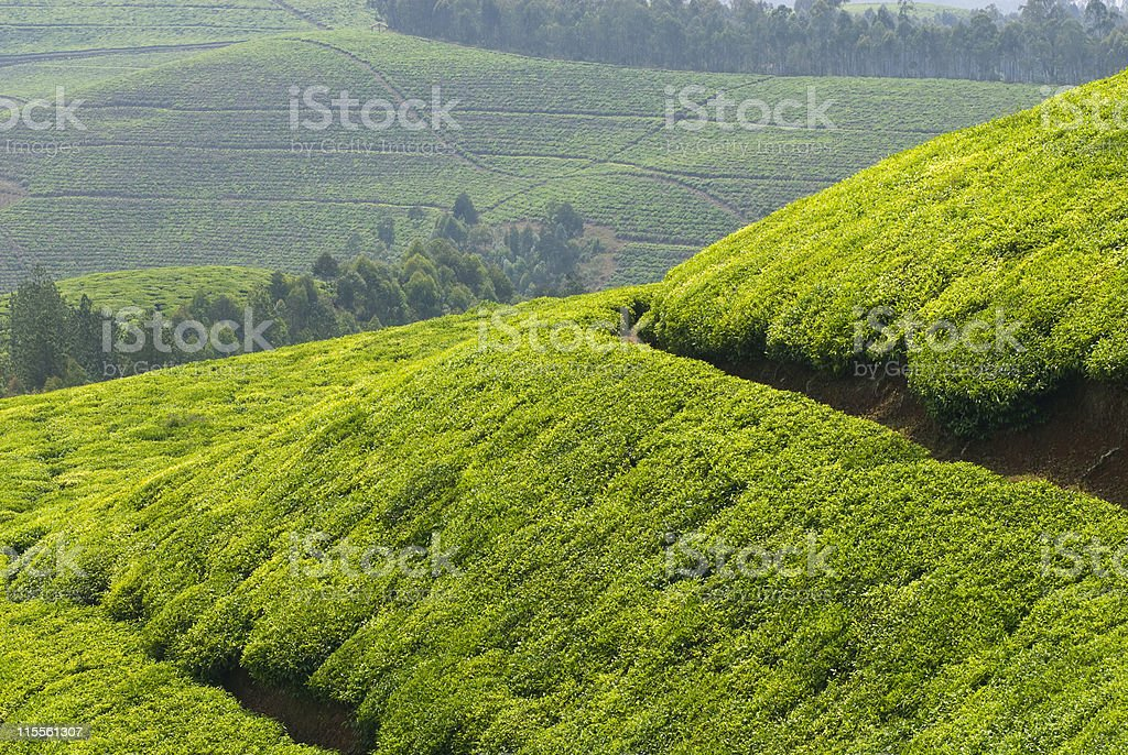 Rolling hills with tea fields in the heart of Africa royalty-free stock photo