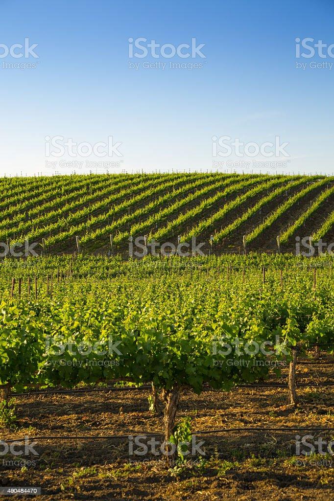 Rolling Hillside of Vineyard Grapevines stock photo