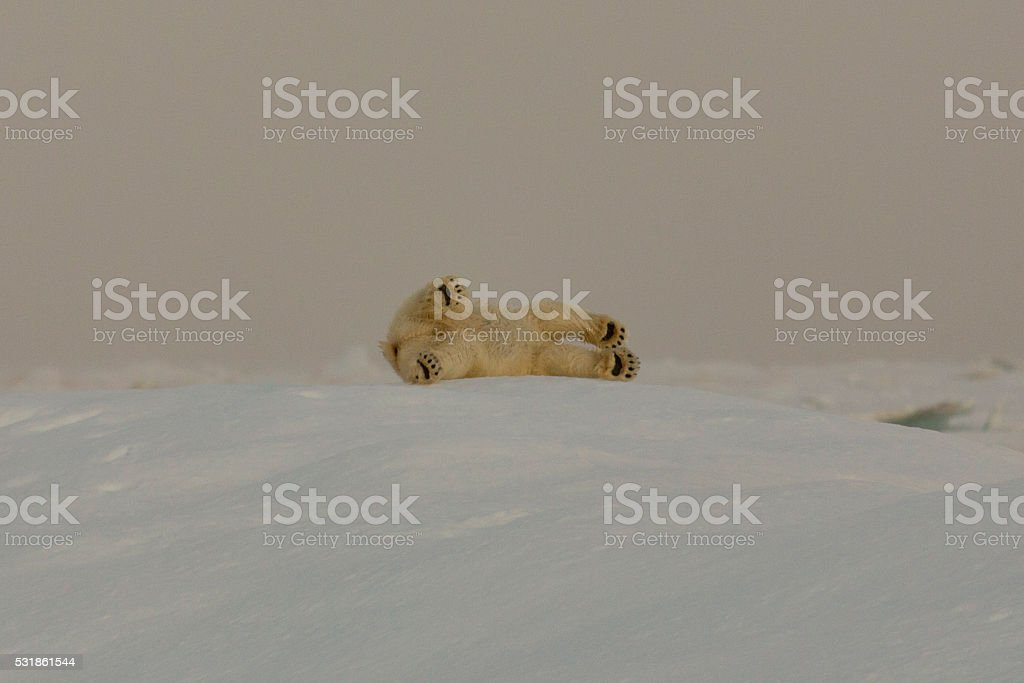 Rolling Polarbear stock photo
