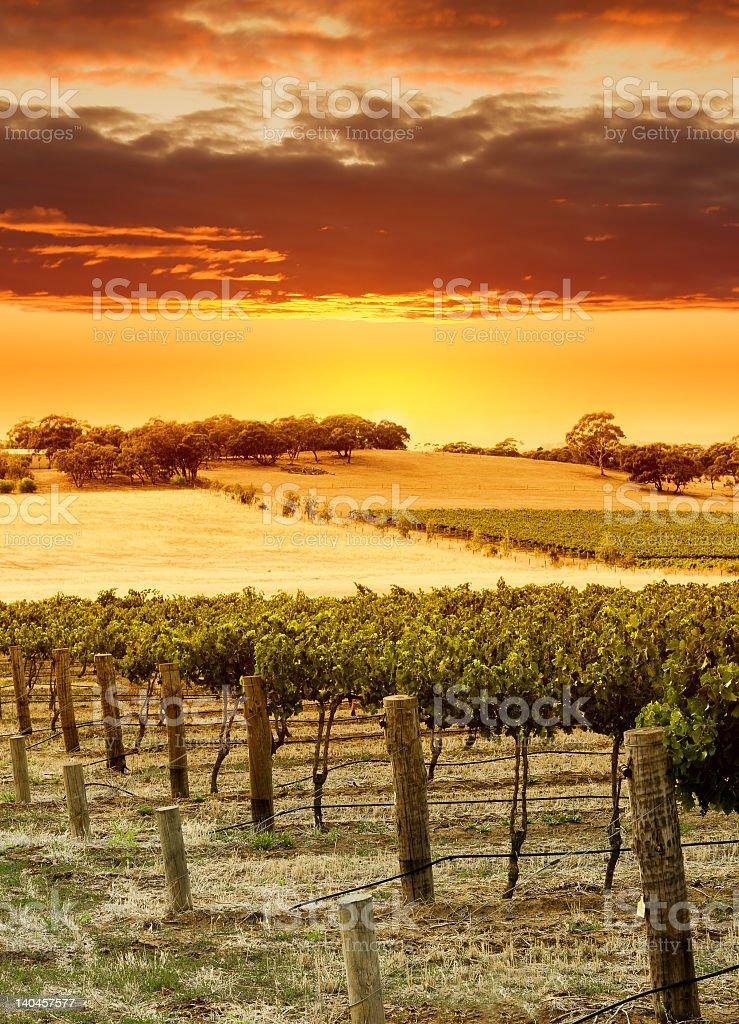 Rolling vineyard fields during an orange sunset royalty-free stock photo
