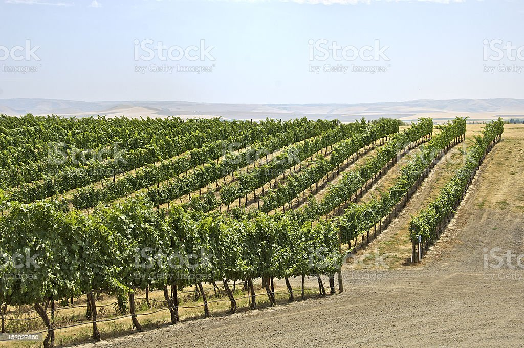 Rolling Vineyard stock photo