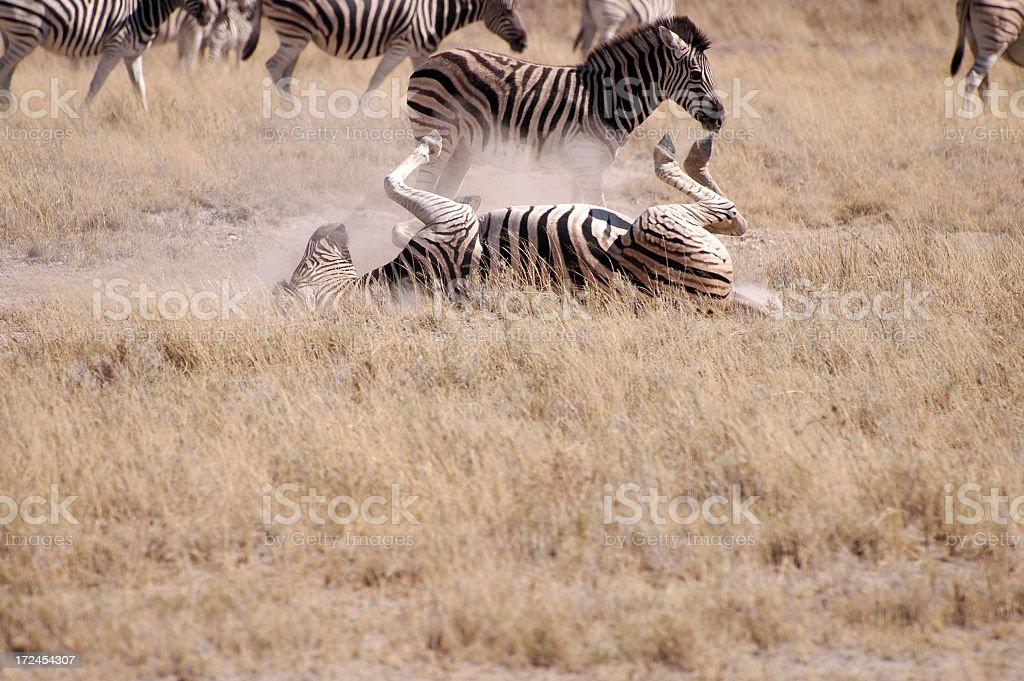 Rolling Zebra stock photo