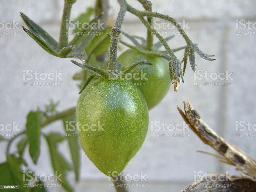 Roma tomato plant royalty-free stock photo