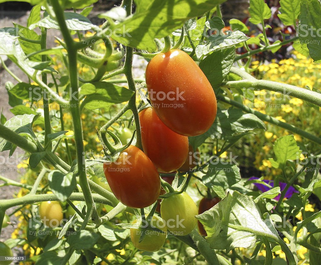 Roma Tomatoes on a Vine stock photo
