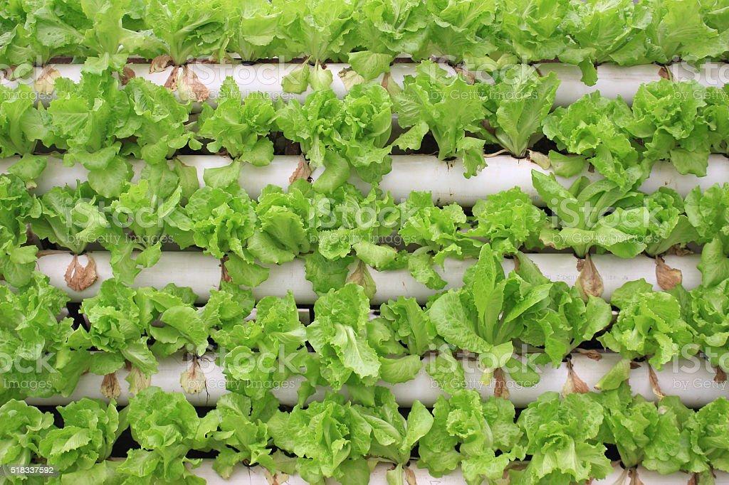 Romaine lettuce, soilless cultivation stock photo