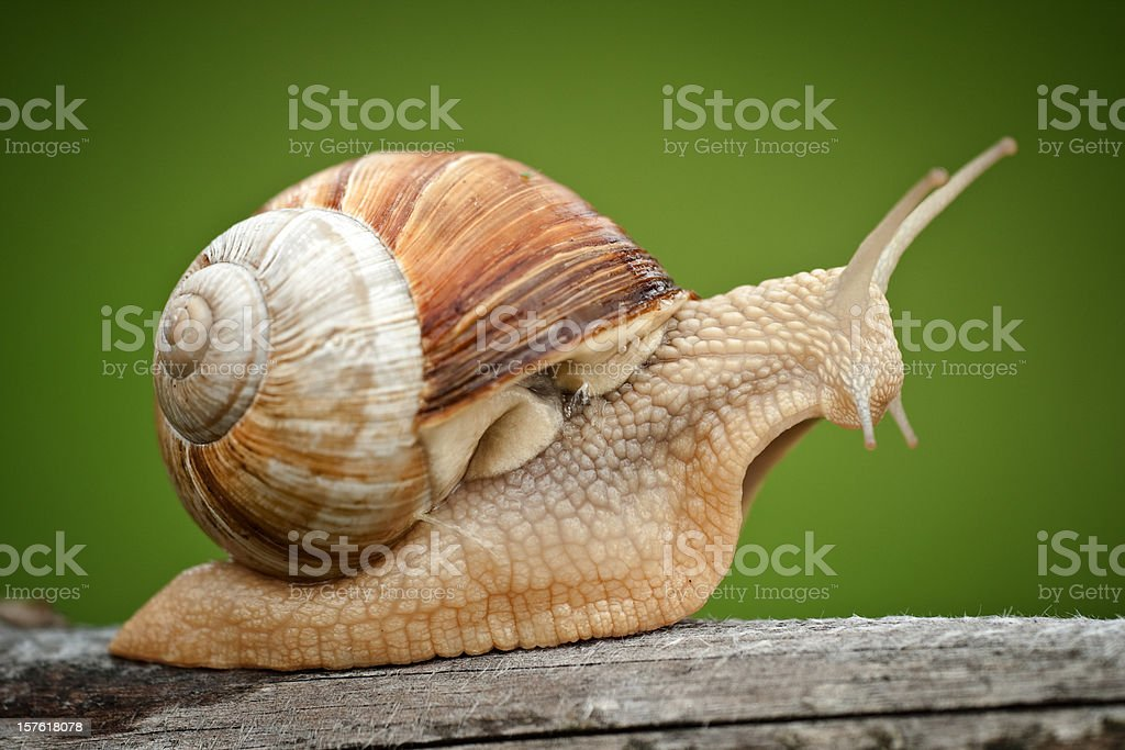 Roman Snail (Helix pomatia) on piece of wood stock photo