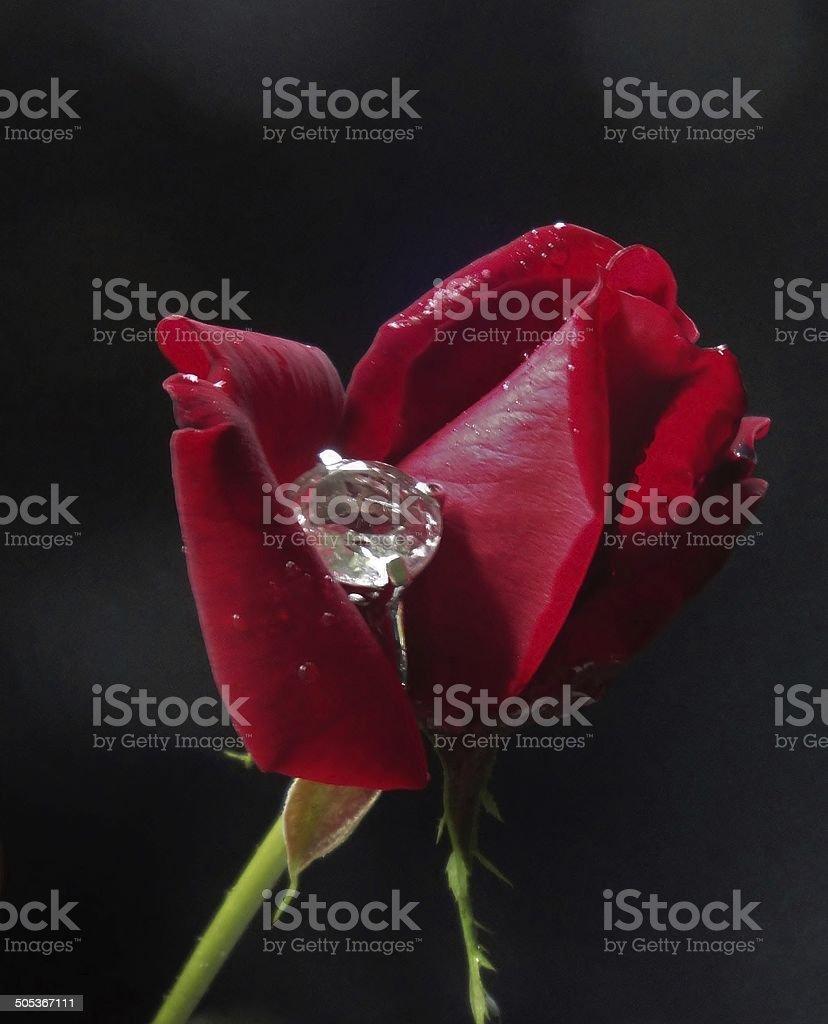 Romance Blooms royalty-free stock photo