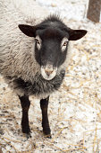 Romanov sheep in the paddock
