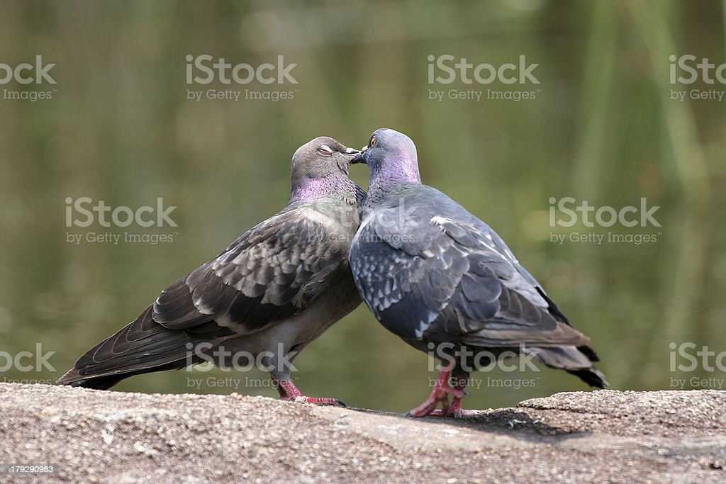 Romantic Bird Kiss royalty-free stock photo