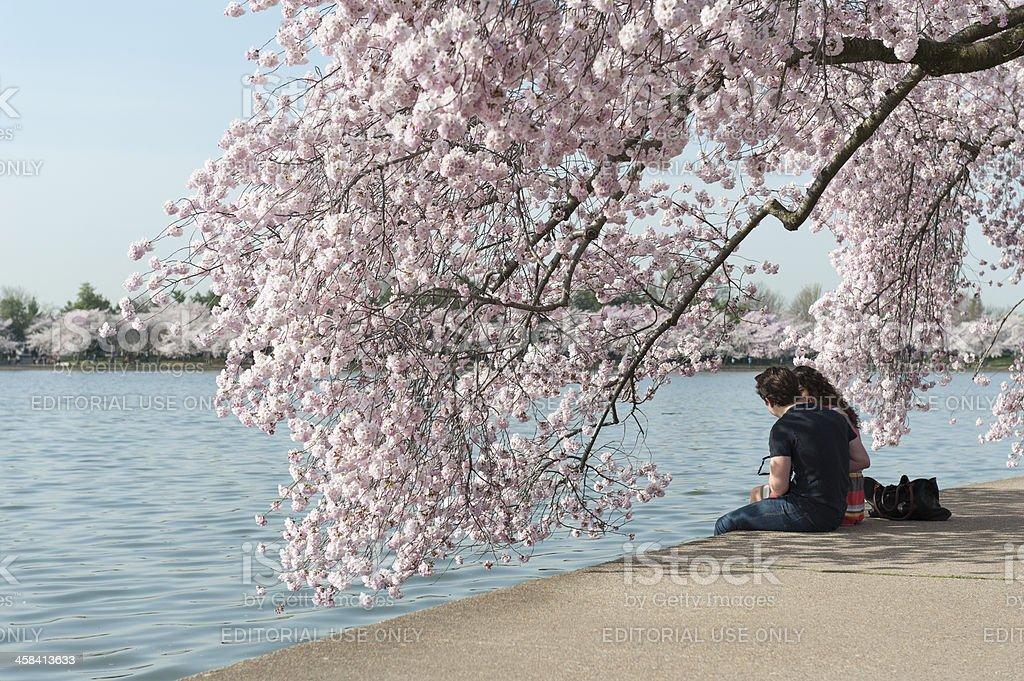 romantic couple enjoy the cherry blossoms, tidal basin, washington stock photo