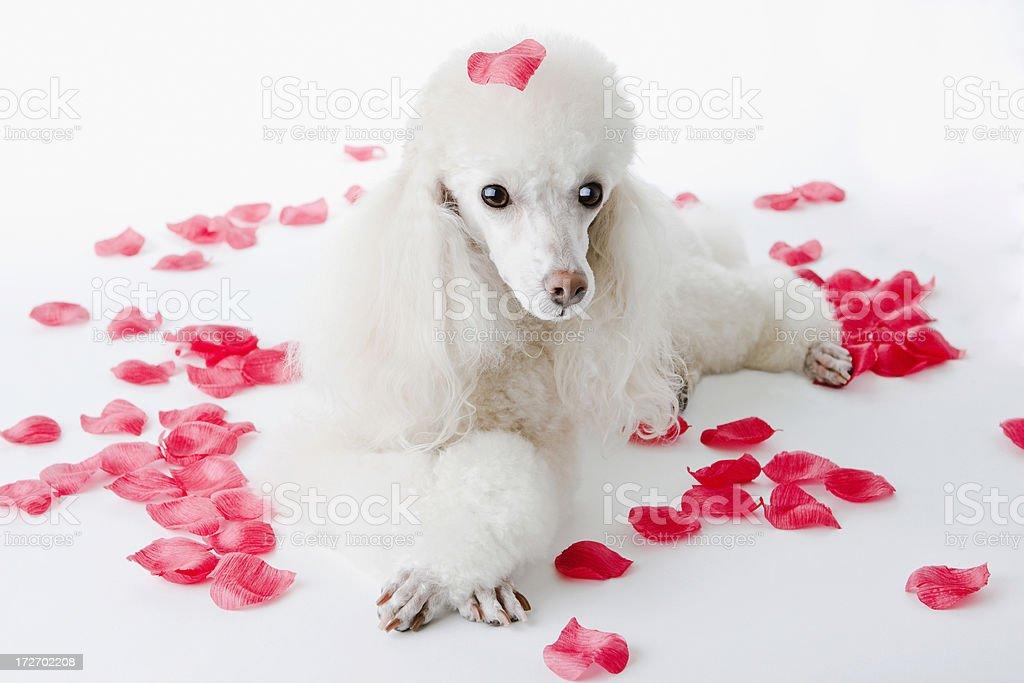 Romantic Heart Petals Poodle royalty-free stock photo