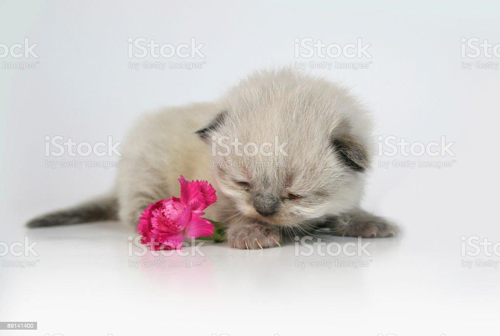 Romantic Kitten stock photo