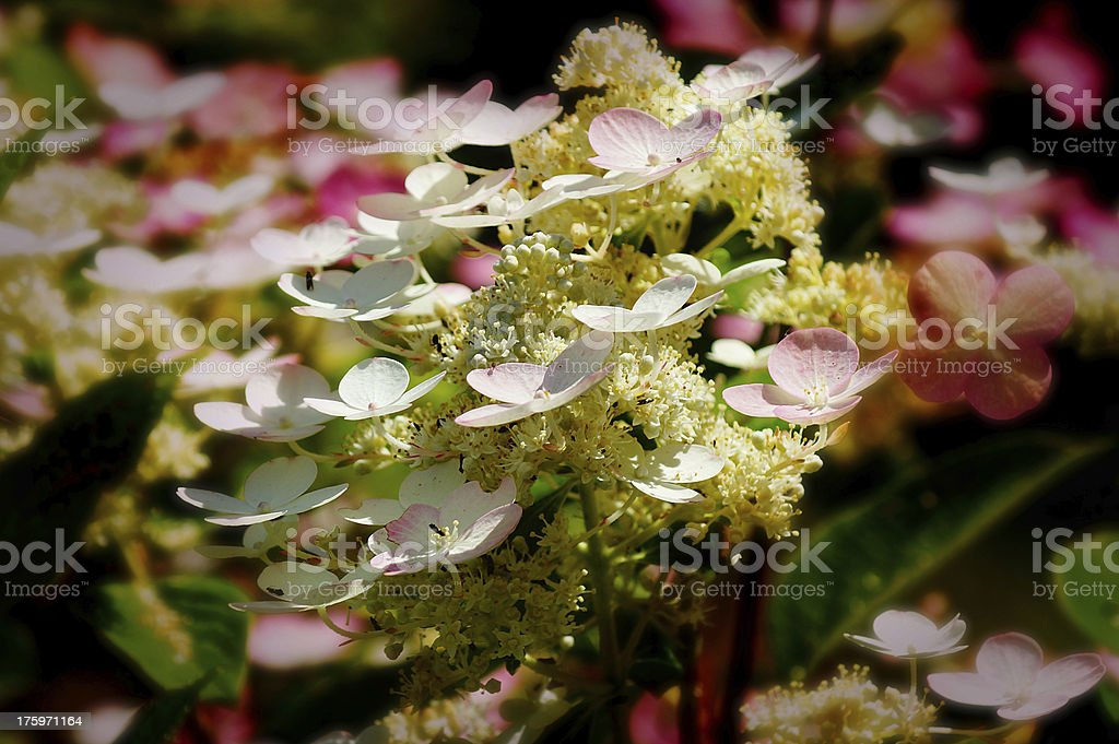 Romantic summer pink blossoms flowers royalty-free stock photo