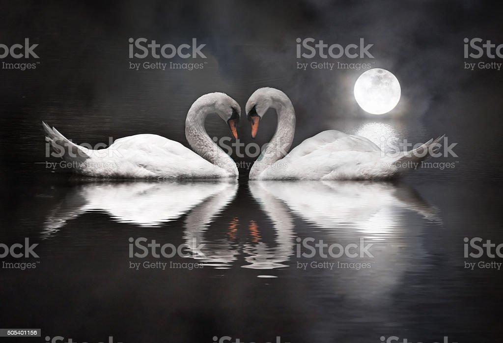 romantic swan during valentine's day stock photo