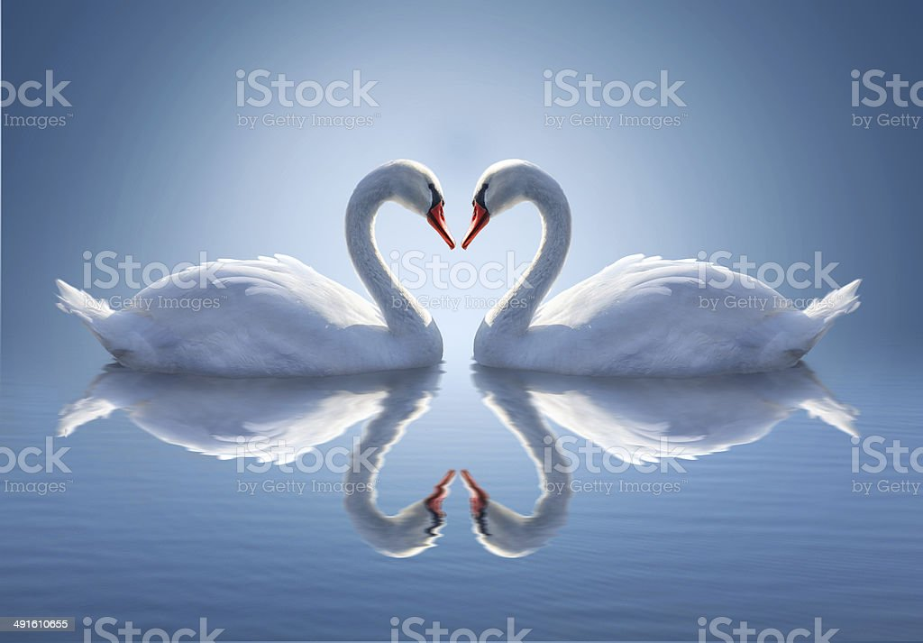 Romantic two swans,  symbol of love. stock photo