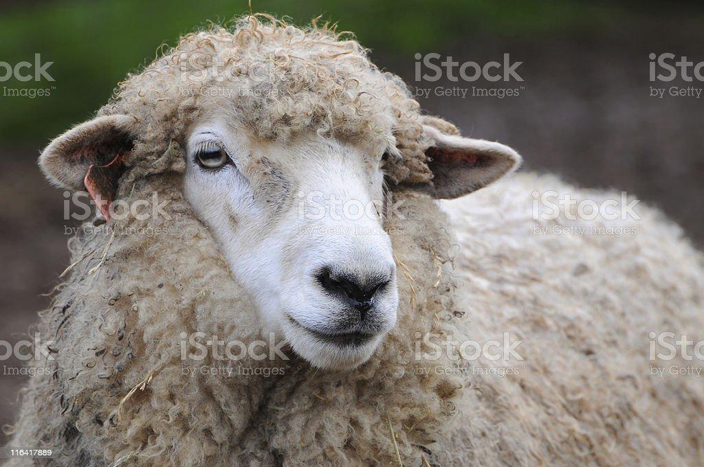 Romney sheep, Ovis aries stock photo