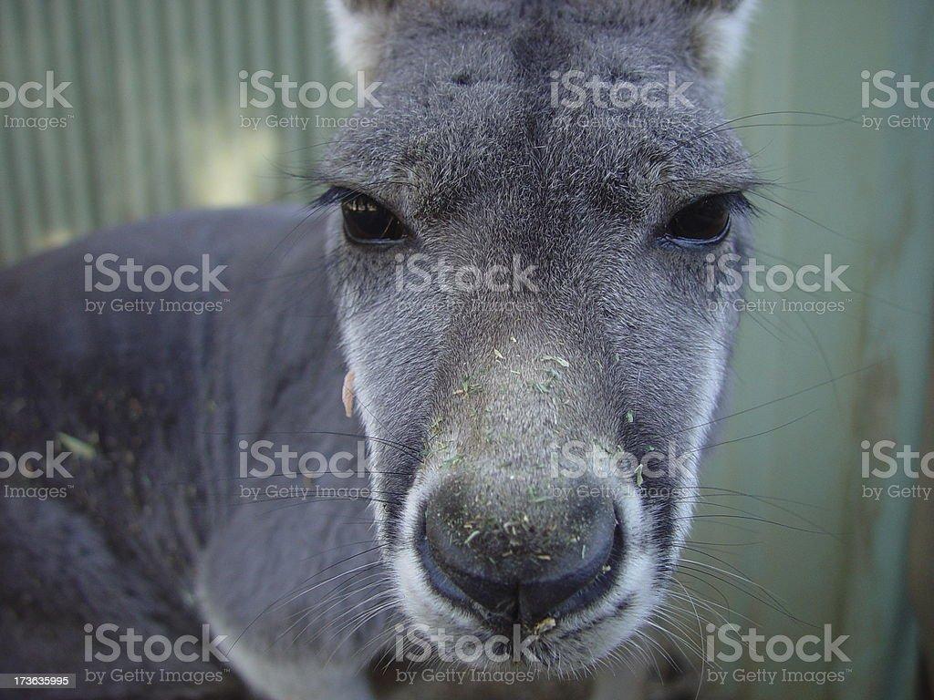 Roo Closeup stock photo