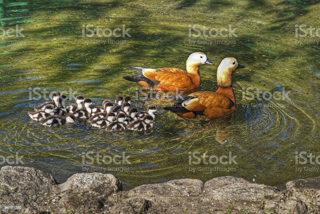 Roody shelduck family in pond royalty-free stock photo