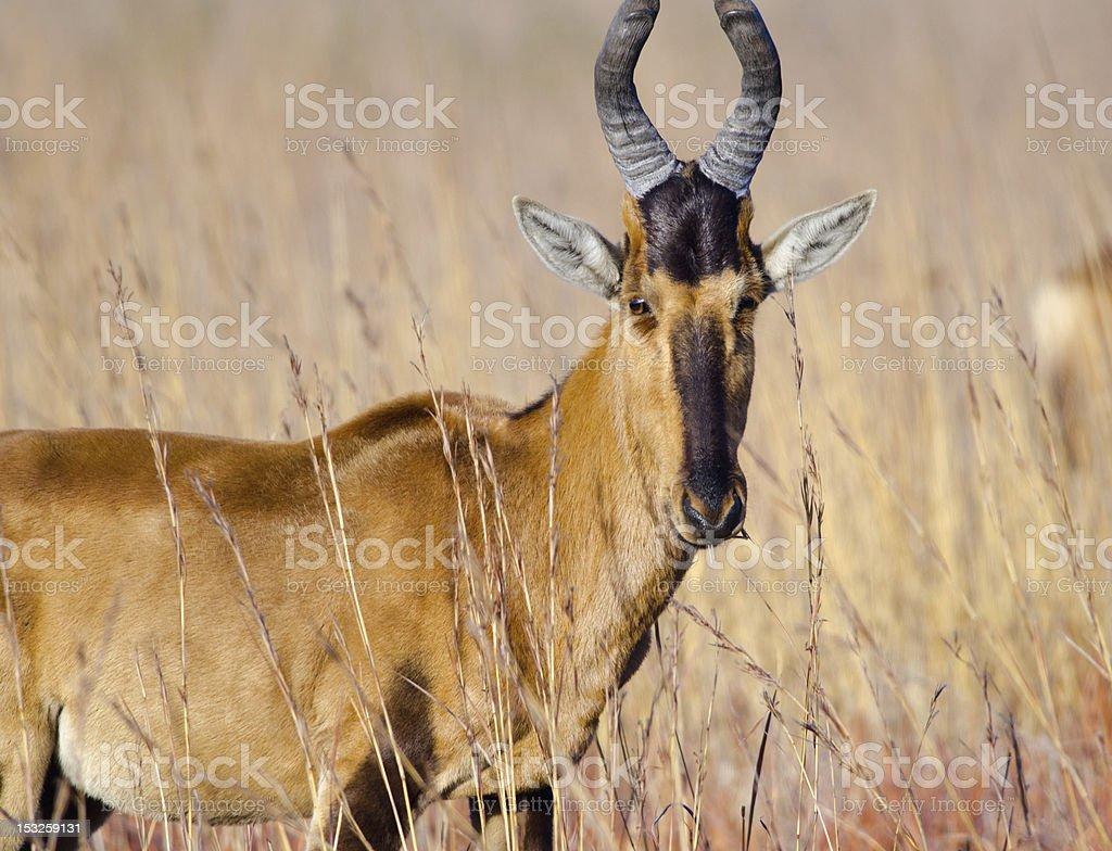 Rooi Hartebees stock photo