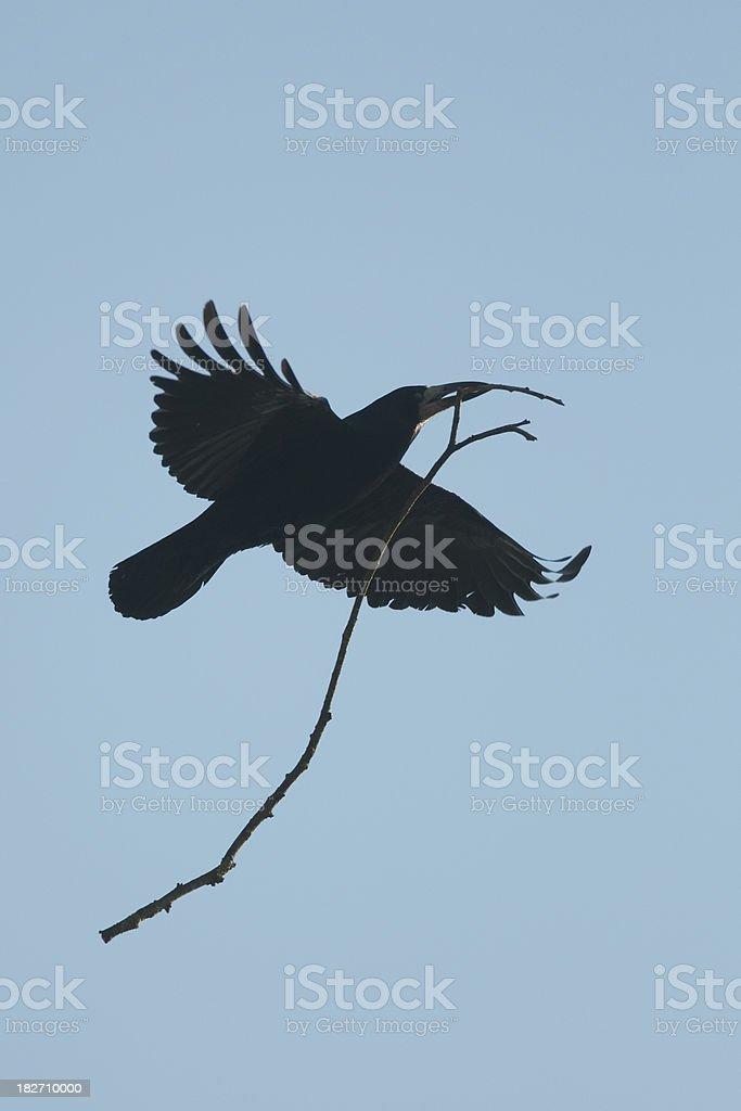 Rook carrying nesting material (Corvus Frugilegus) stock photo