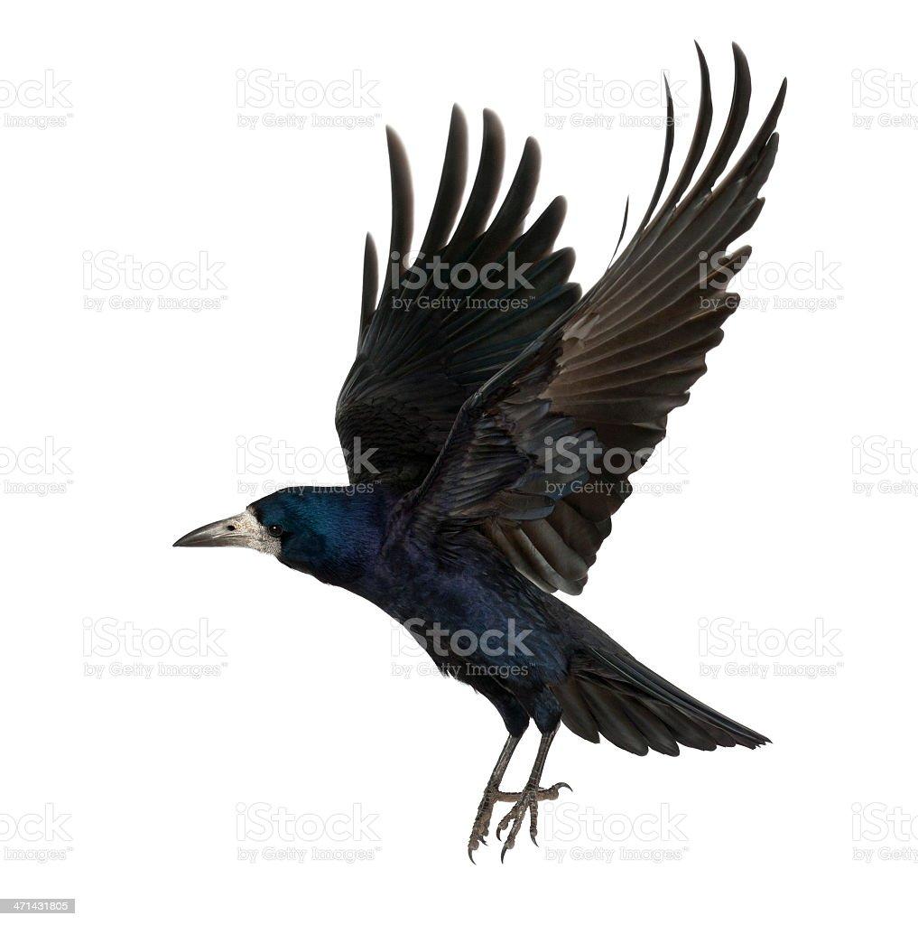 Rook, Corvus frugilegus, 3 years old, flying against white background stock photo