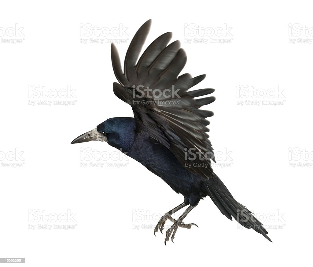Rook, Corvus frugilegus, 3 years old stock photo
