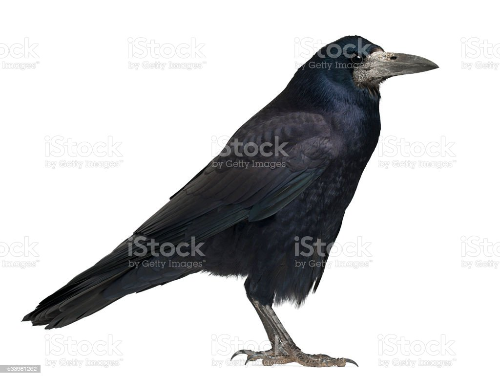 Rook, Corvus frugilegus, 3 years old, standing against white background stock photo