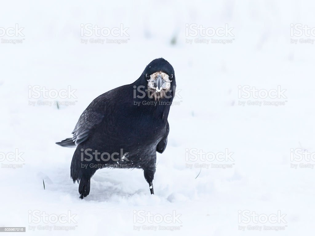 Rook, Corvus frugilegus, standing in snow, looking at camera,Scotland stock photo